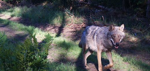 Wolfsfoto